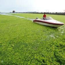 algae.jpeg