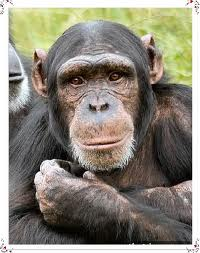 chimp3.jpeg