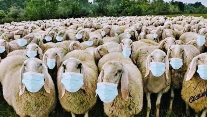 masks-on-sheep.jpeg