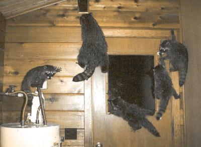 raccoons5.jpg