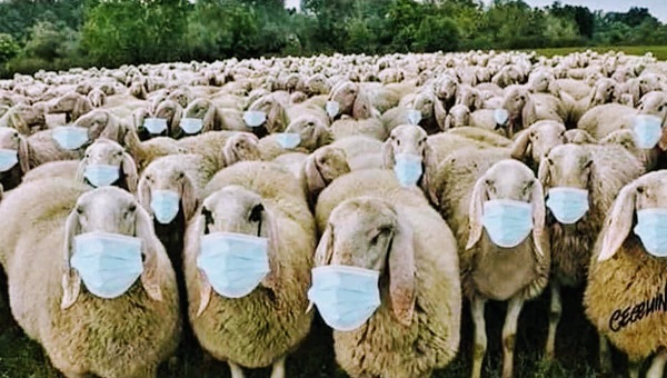 sheep-with-masks.jpg