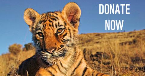 tiger_small_1_1.jpg